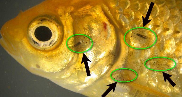 Нарушение ДНК у рыбы